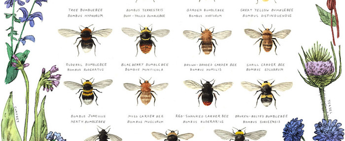 Bumble Bees of Britain // Lovely Lately // THE HIVE