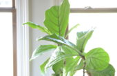 How to keep your fiddle leaf fig from playing the violin // tips on keeping yours healthy and happy via thehiveblog.com